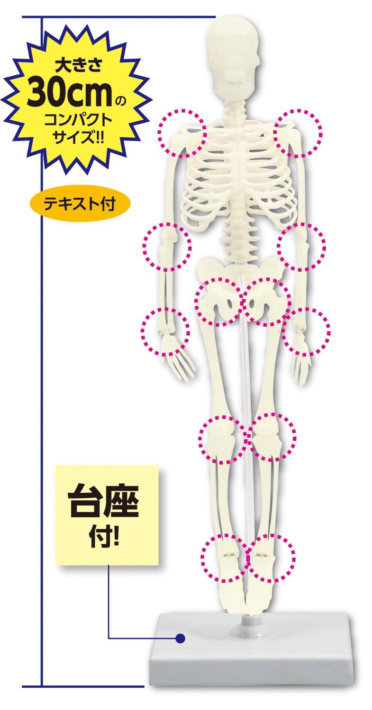 【科学工作】人のからだ リアル人体骨格模型   B00BF7MF7I