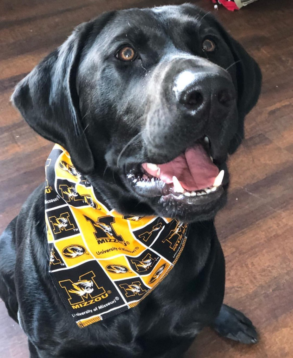University of Missouri''Mizzou'' Dog Bandana (XLG: 20-24 in)