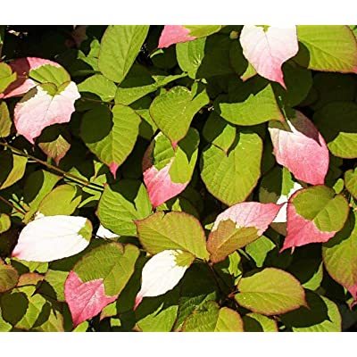 20 Variegated Arctic Beauty Kiwi Fruit Edible Actinidia Kolomikta Vine Seeds #SFB : Garden & Outdoor