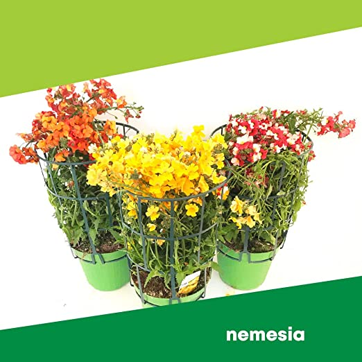 Piante Fiori.Nemesia 6 Piante Fiori Non Commestibili Azienda Agricola