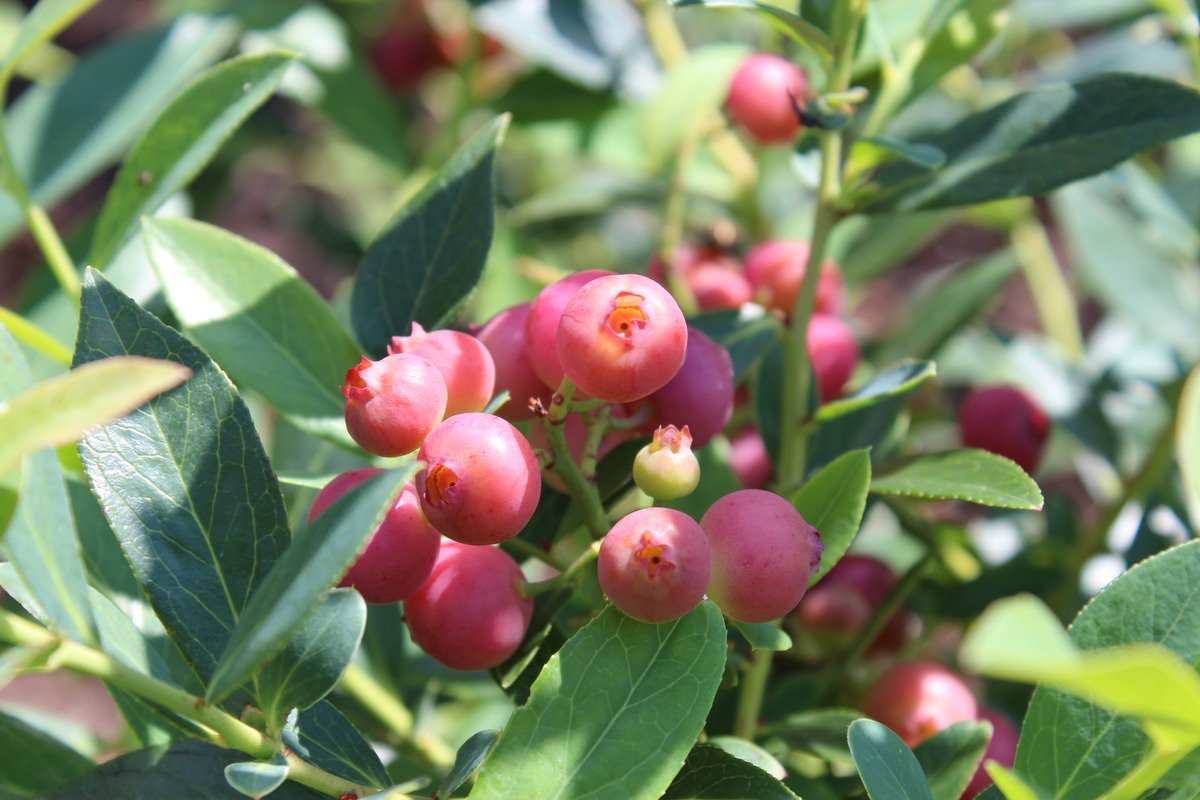 Pink Lemonade Blueberry (Vaccinium) - Quart Pot