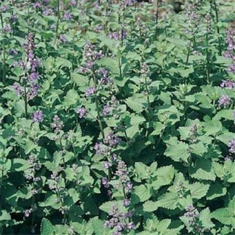 400 Catnip This is Herb is Irresistible to Cats and Bees Seeds