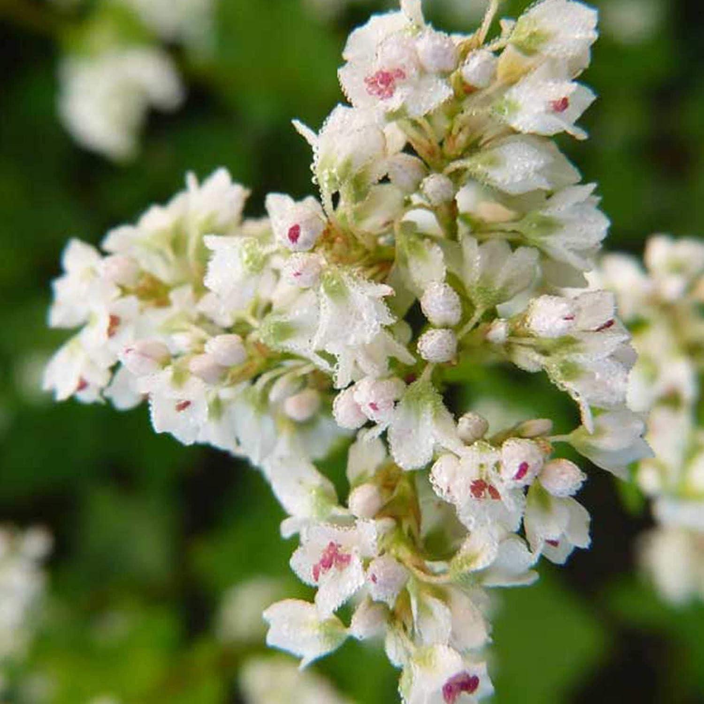 Organic Japanese Buckwheat - 5 LB Bulk ~60,000 Seeds - Perennial - Organic, Non-GMO, Open Pollinated - Farm & Garden Cover Crop - Bee & Pollinator Crop