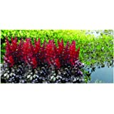 Potted 1 Litre Astilbe Arendsii Fanal Summer Flowering Red Garden Perennial Plant GARTHWAITE NURSERIES/®