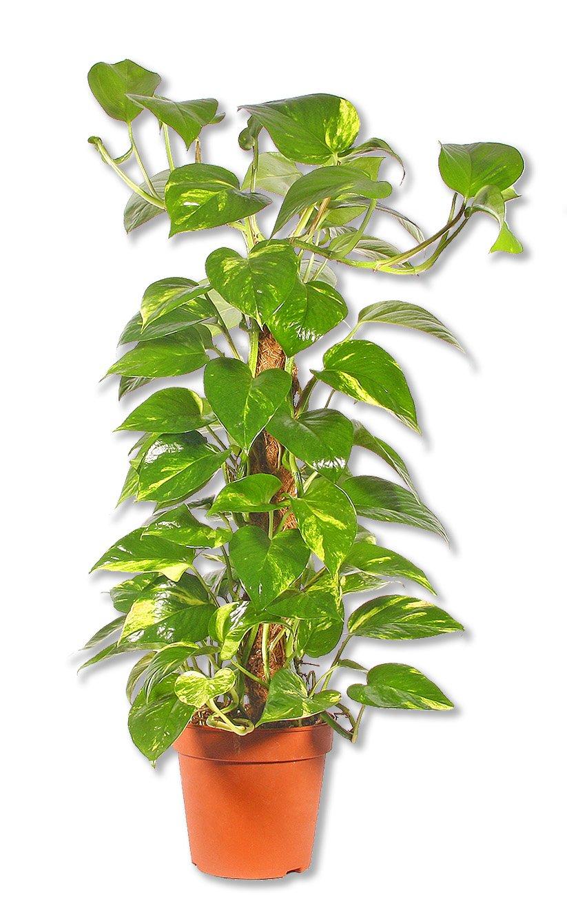 Zimmerpflanzen Groß scindapsus efeutute groß amazon de garten