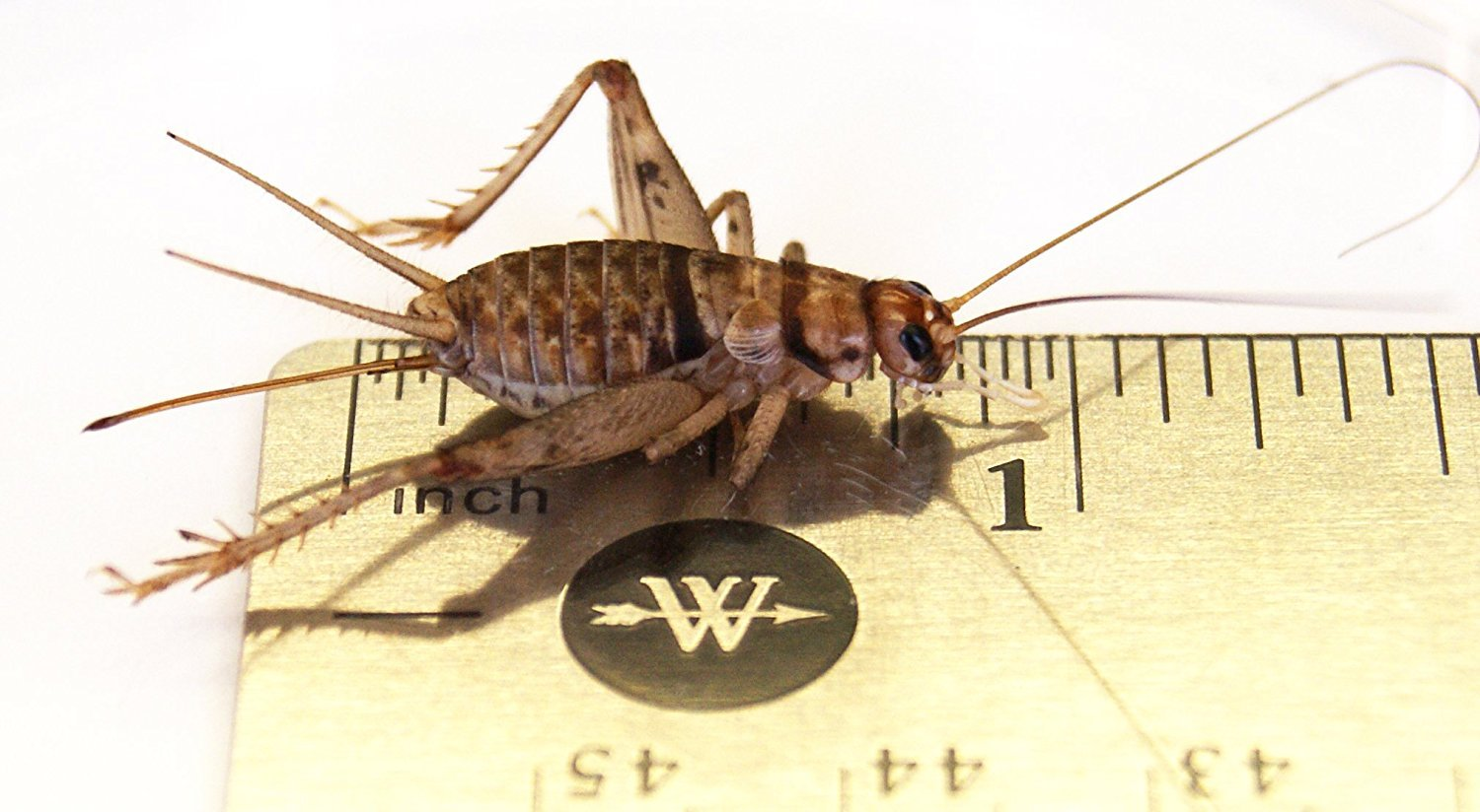 Josh's Frogs 1'' Large Adult Banded Crickets (1000 Count) by Josh's Frogs (Image #3)