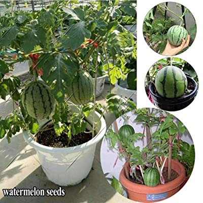 Gilroy Seeds, 20Pcs Mini Watermelon Seeds Sweet Fruit Plant for Indoor Outdoor Home Roof Balcony Garden Yard Farm Planting : Garden & Outdoor