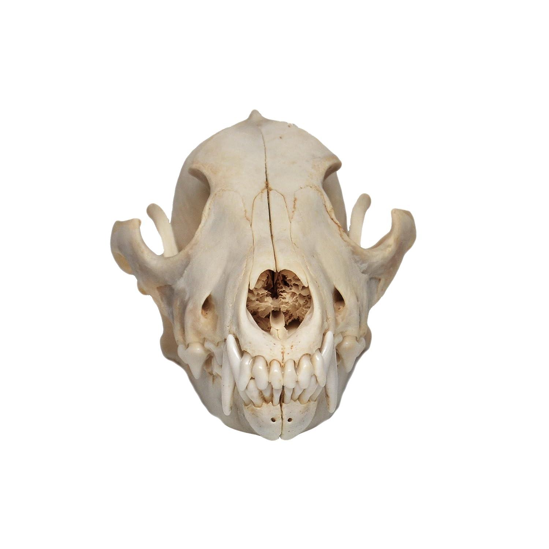 Amazon Real Bone Coyote Skull Sports Outdoors