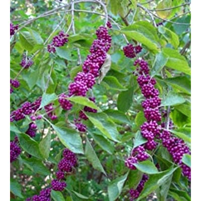 American Beauty Berry, 1 Gallon Potted Plant, Shrub, Blooms, Live Plants, Shrub, Pink to Lilac Flowers, Deep Purple Berries, Flowers : Garden & Outdoor