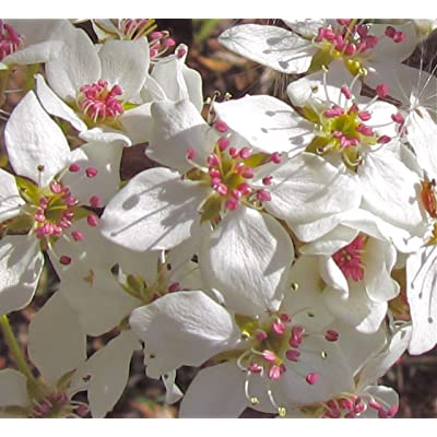 Bradford Pear, Pyrus calleryana, (Callery Pear) Tree 30 Seeds (Fast, Fall Color) : Garden & Outdoor