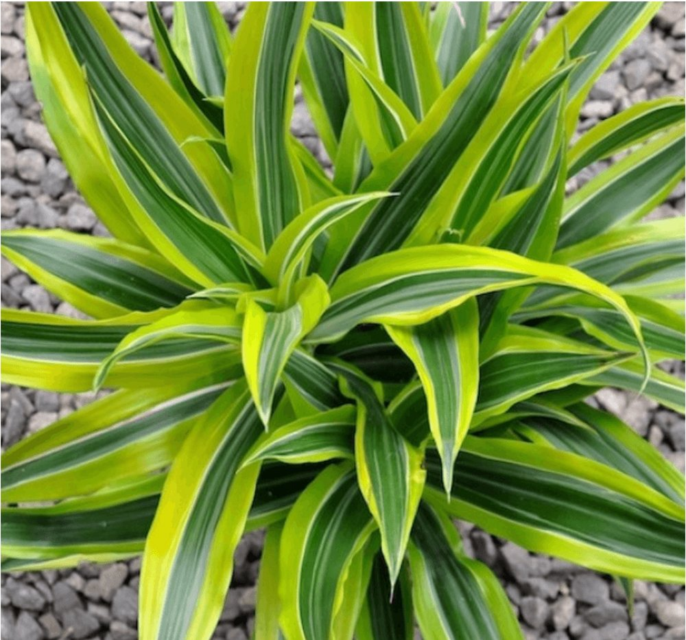 AMERICAN PLANT EXCHANGE Dracaena''Lemon Lime'' Live Plant, 3 Gallon, Indoor/Outdoor Air Purifier by AMERICAN PLANT EXCHANGE (Image #2)