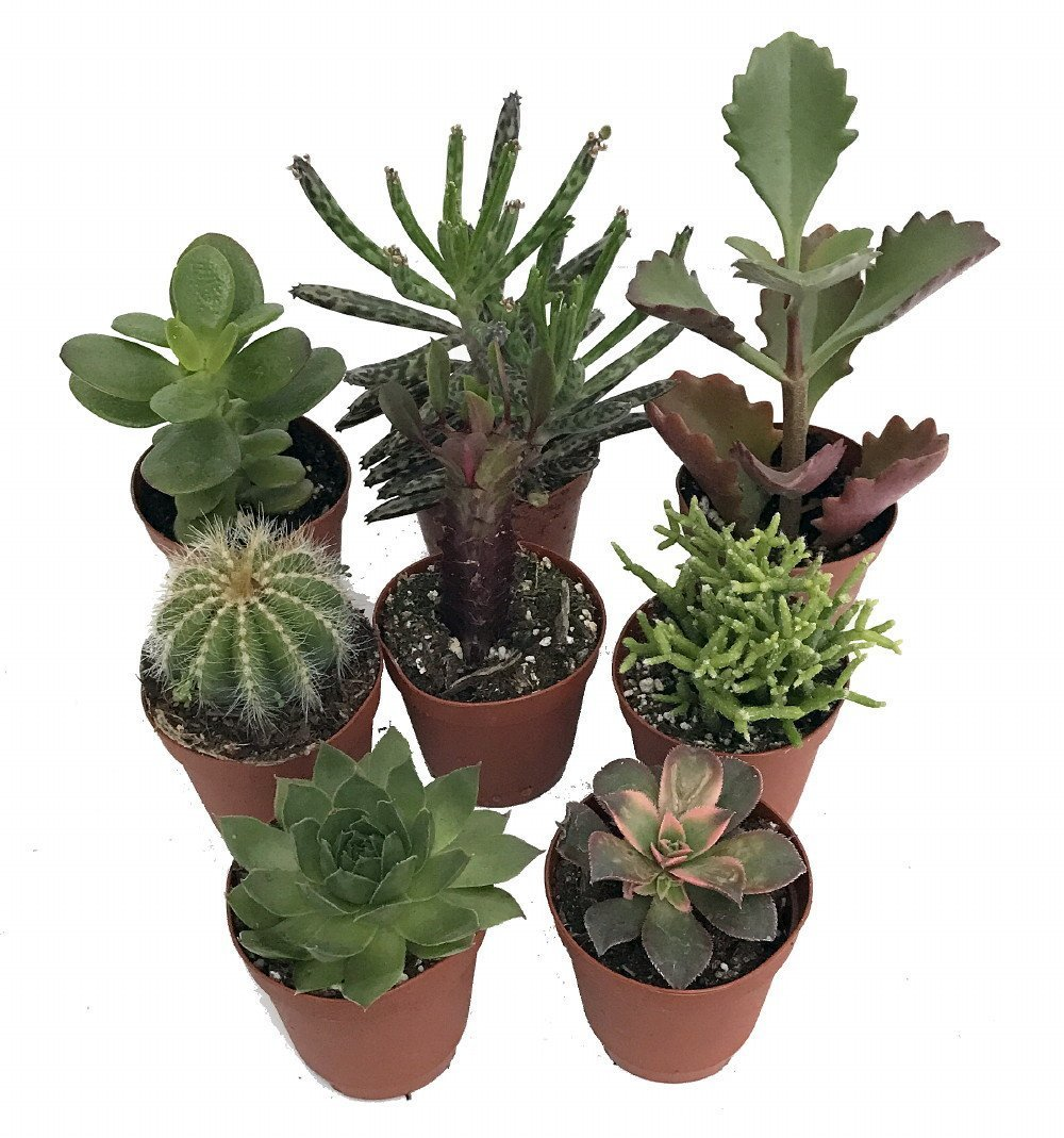 Instant Cactus/Succulent Collection - 8 Plants 2'' pots