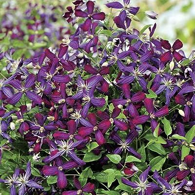 """AchmadAnam - 4"""" Pot - Sweet Summer Love Clematis - Fragrant/Long Blooming - Proven Winner : Garden & Outdoor"""