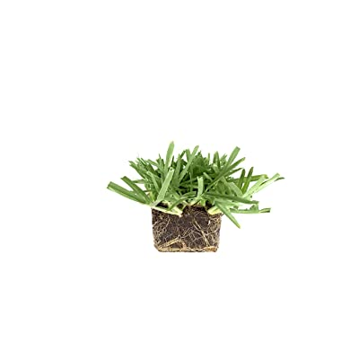 St. Augustine 'Floratam' 3 Inch Sod Plugs - 9 Live Plugs - Drought, Salt and Shade Tolerant Turf Grass : Garden & Outdoor