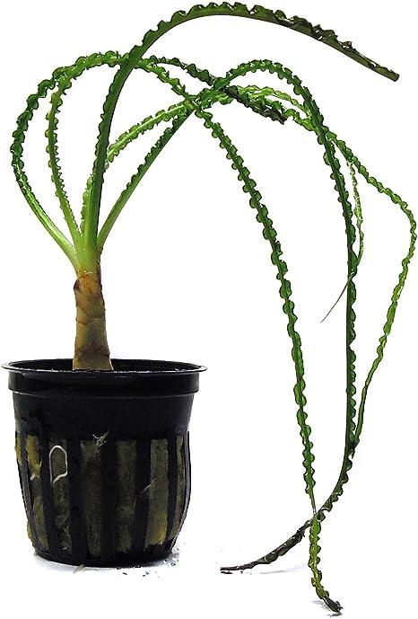 Live Aquarium Plant African Onion Plant Crinum aquatica