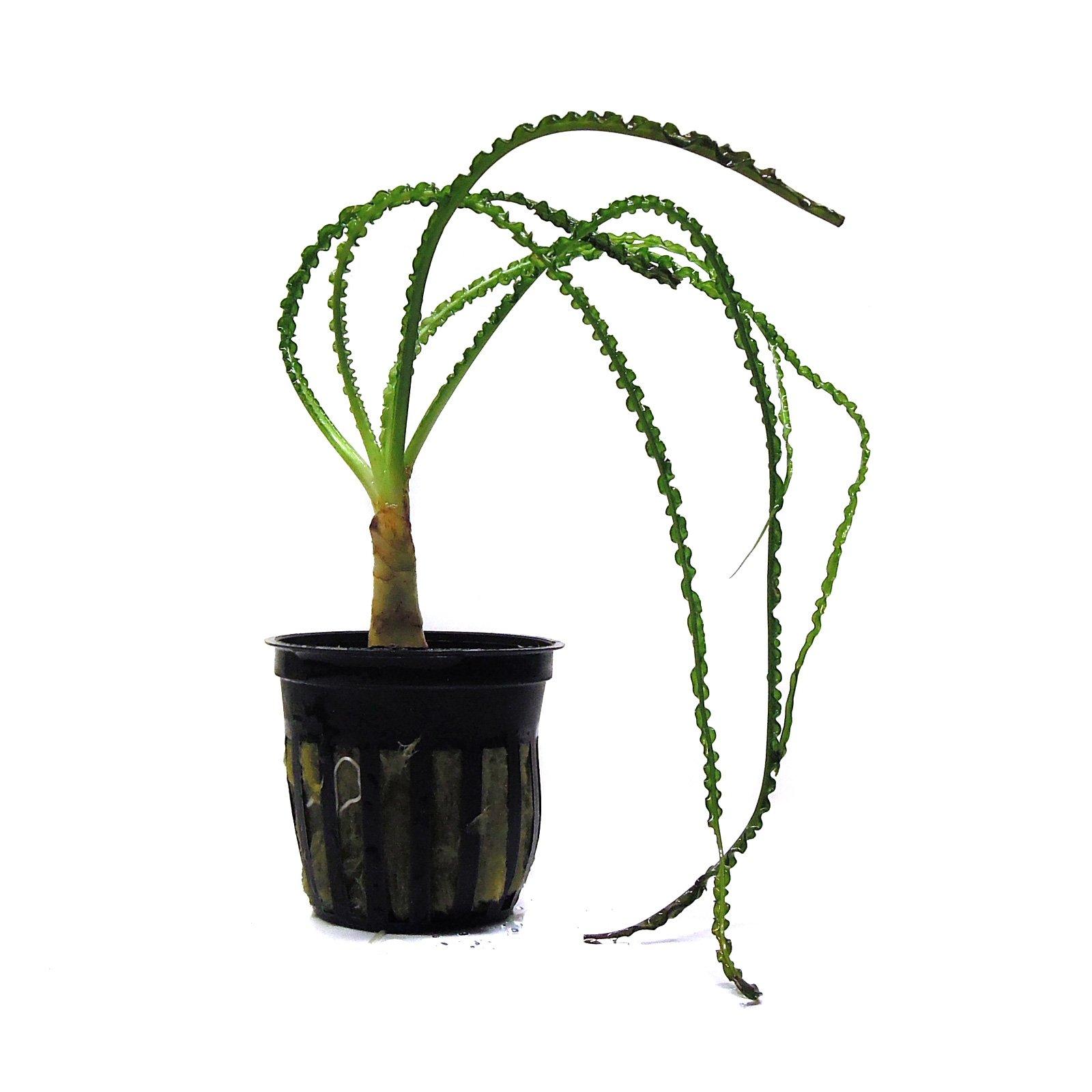 SubstrateSource Crinum calamistratum Small African Onion Live Aquarium Plant