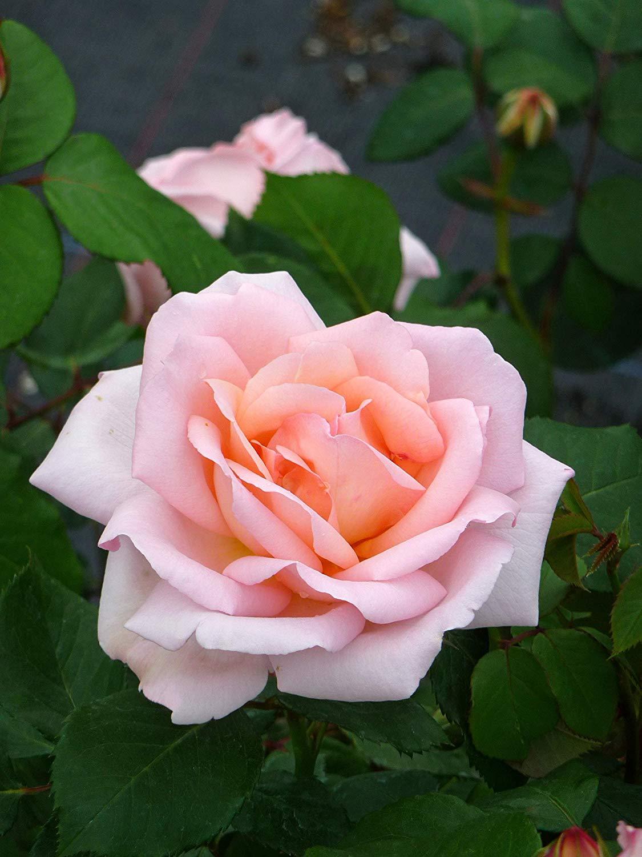 Her Mom Shop Meeko Rose Bloom of Ruth- A Wonderful /& Flower Gift for Mum Women Girlplant
