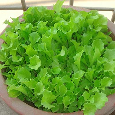 Oliote 100 pcs/Bag Spinach/Lettuce/Small Celery/Scallion Vegetable Seeds Vegetables : Garden & Outdoor