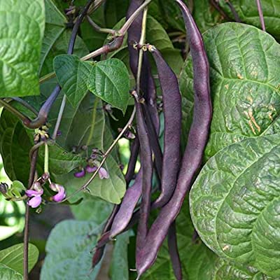 Purple pod Pole Bean : Garden & Outdoor