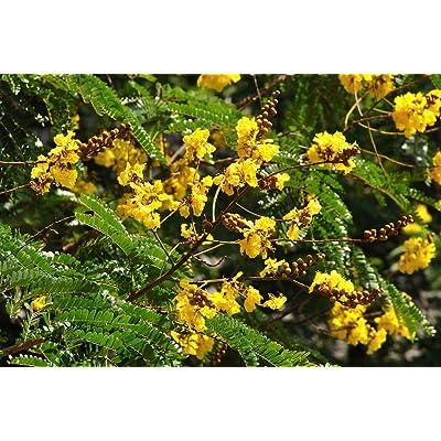 Peltophorum pterocarpus COPPERPOD Seeds! : Garden & Outdoor
