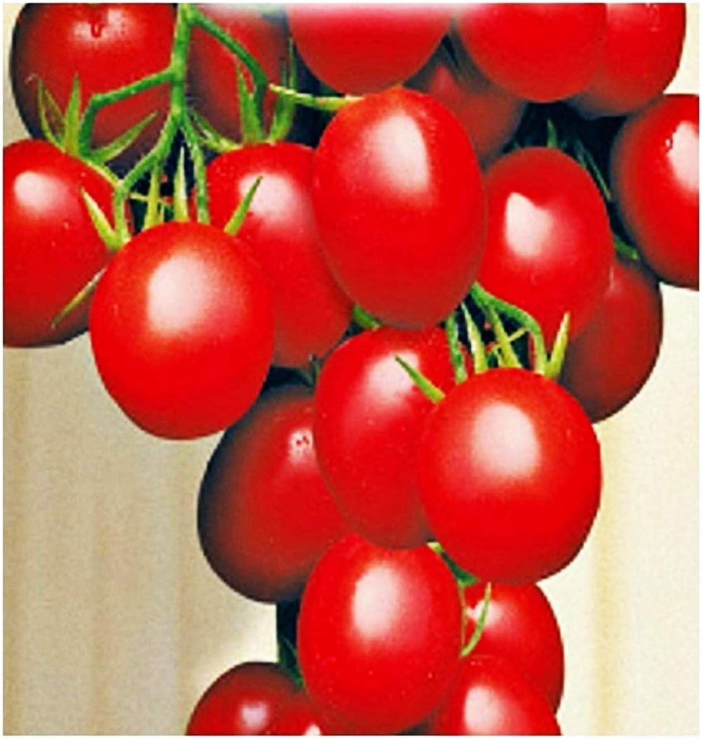 Semillas de tomate de invierno sel - frutas - galatino - tomates - solanum lycopersicum - las mejores semillas de plantas - flores vegetales - raras - aproximadamente 520 semillas - excelente calidad