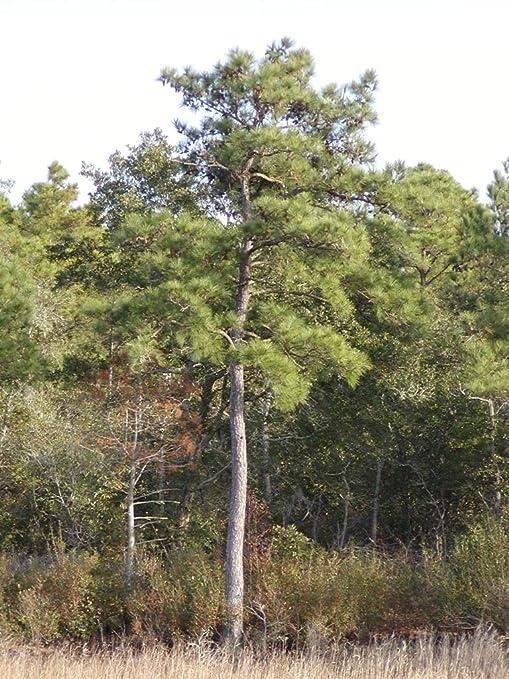 Loblolly Pine Tree Sapling   House Plant Garden Lawn Pinus Taeda Evergreen  Cone GTA