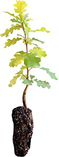 product image for Valley Oak | Live Tree Seedling (Medium) | The Jonsteen Company