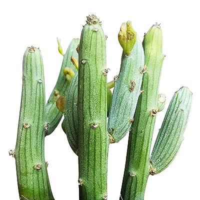 "Senecio Anteuphorbium Swizzle Sticks (4"" + Clay Pot) : Garden & Outdoor"