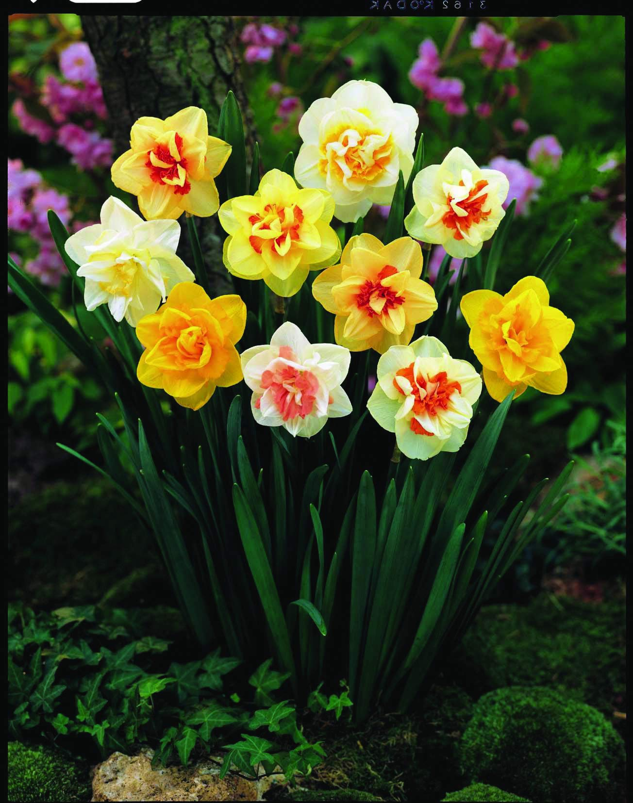 Burpee's Double Mix Daffodil - 12 Flower Bulbs   Multiple Colors   14 - 16cm Bulb Diameter