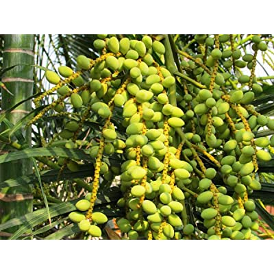 10 Seeds- Sugar Date Palm -Tropical Container Gardening - Can Be Grown Outdoors in Warm Climates - Phoenix Sylvestris : Garden & Outdoor