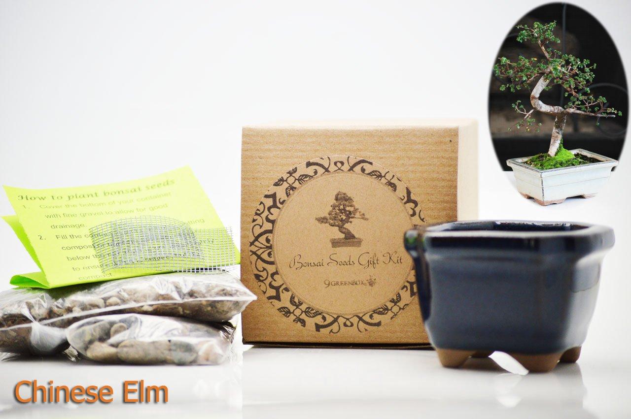 Set of 2 Chinese Elm Bonsai Seed Kit- Gift - Complete Kit