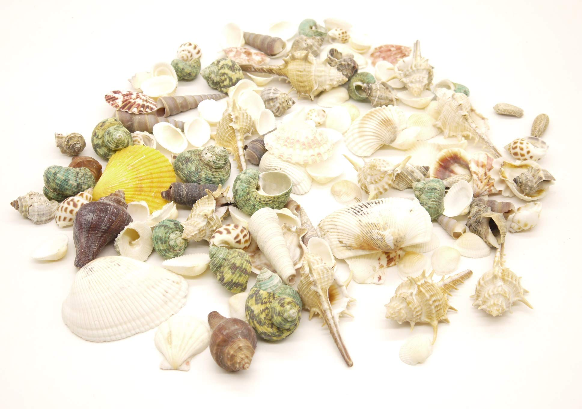 Sea Shells(17oz) 1''-3.5'' Mixed Ocean Beach Seashells-Natural for Candle Making,Home Decorations, Beach Theme Party Wedding Decor, DIY Crafts, Fish Tank and Vase Fillers