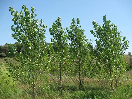 Amazon.com: 10 árboles de popa híbridos – sombra de ...