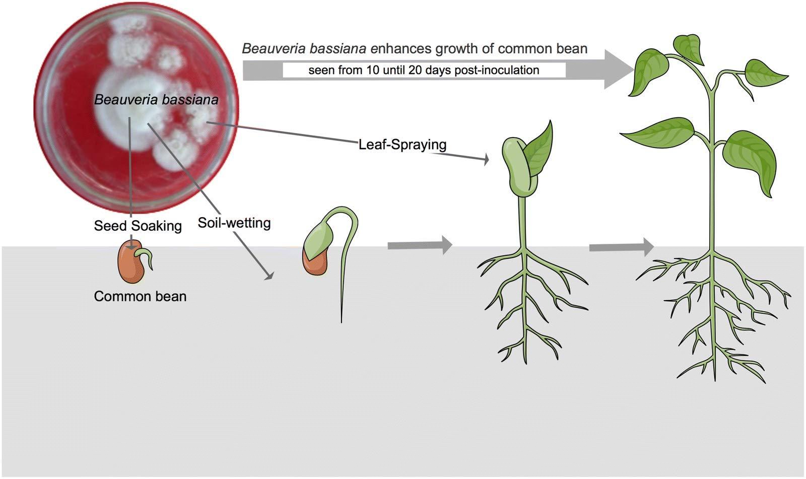 100% Organic BEAUVERIA BASSIANA Biopesticide/Bio Insecticide 980grms - Kerala Agro Organics (B07FW5MZ7T) Amazon Price History, Amazon Price Tracker