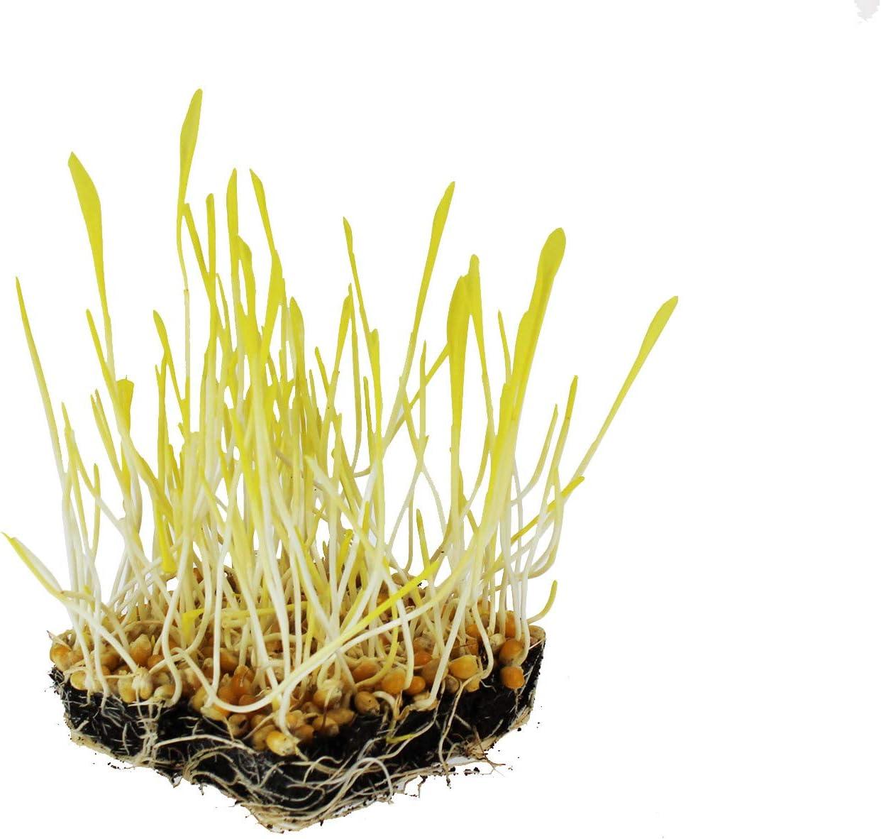 Yellow Popcorn Garden Seeds - 10 g Packet ~50 Seeds - Non-GMO, Organic, Heirloom Vegetable Gardening & Microgreens Seeds - Pop Corn