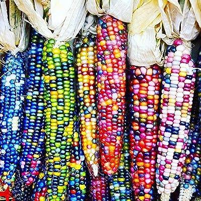 Countia Garden - Multicolor Corn Seeds Organic Vegetable Seeds Home Garden Non-GMO Seeds : Garden & Outdoor