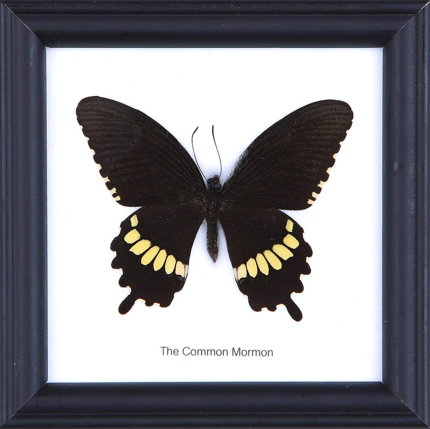 | Framed Beautiful Butterfly Wall Decor 4.75 x 4.75 in. Assorted may differ from photo SET OF 3 Framed Insects Unique Taxidermy Collectables