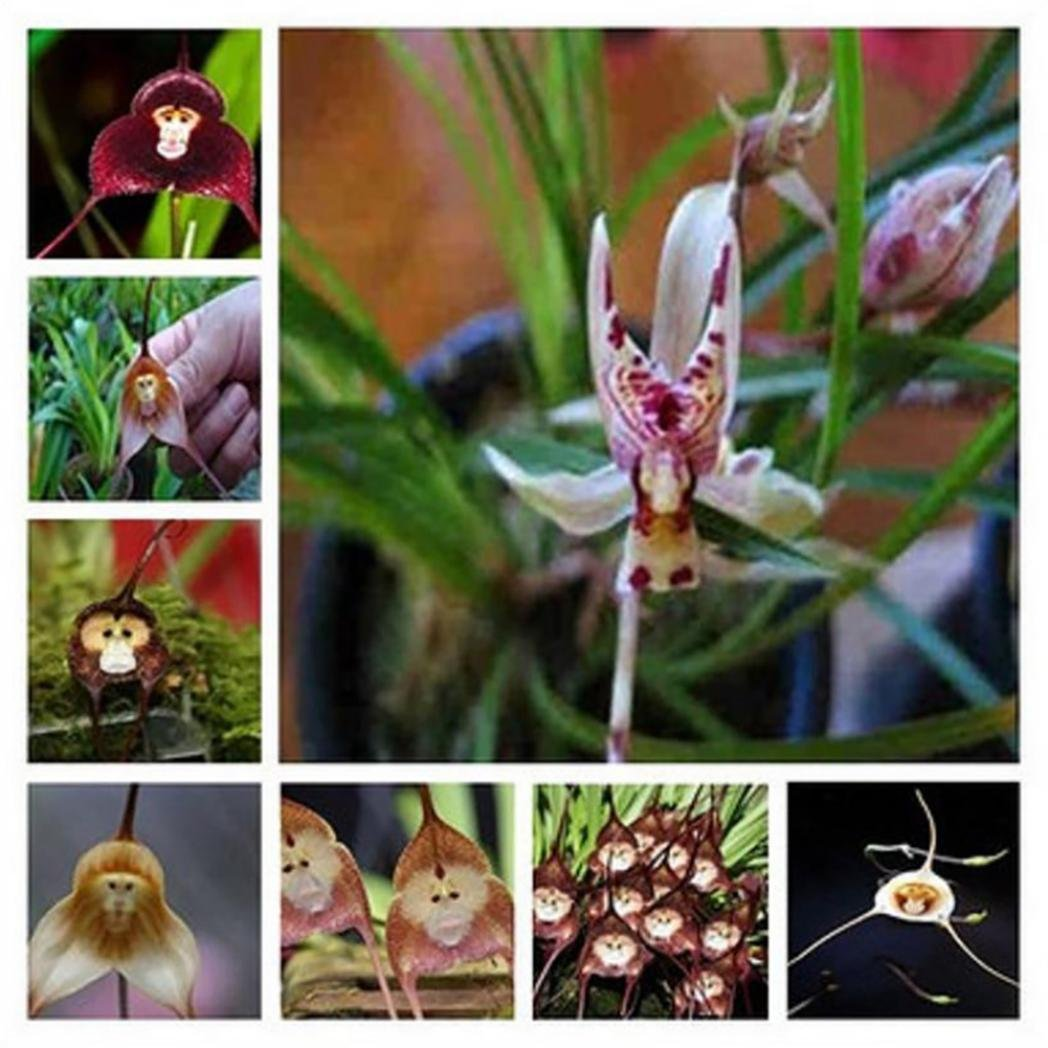 10pcs Monkey Face Orchid Flower Seeds DIY Home Gardening Planting