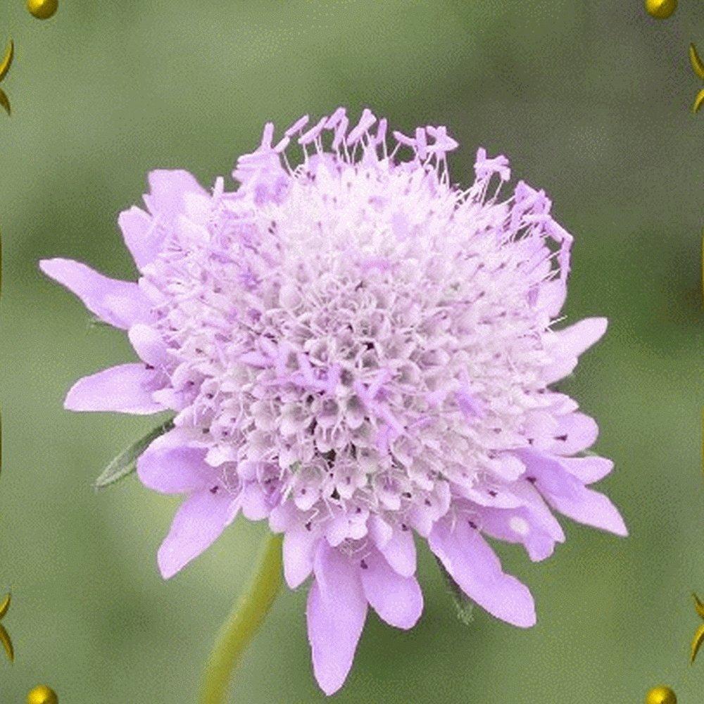 Amazon Everwilde Farms 50 Pincushion Flower Mix Wildflower