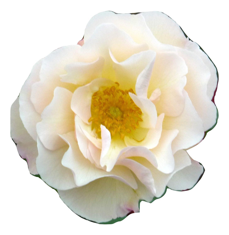 ROSE PENELOPE-Superb Birthday,Personalised Plant & Flower Gifts For Mum,Mom,Women,Her Giftaplant Ref: ROSPEN9