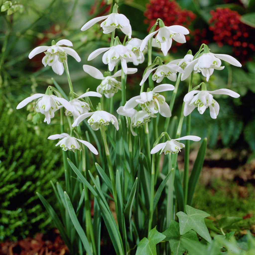 Van Zyverden Galanthus Snowdrops Set of 25 Bulbs