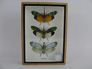 asiahouse24 3X Zanna nobilis - echte riesige und exotische Insekten im 3D Schaukasten, Bilderrahmen aus Holz - gerahmt - Taxi