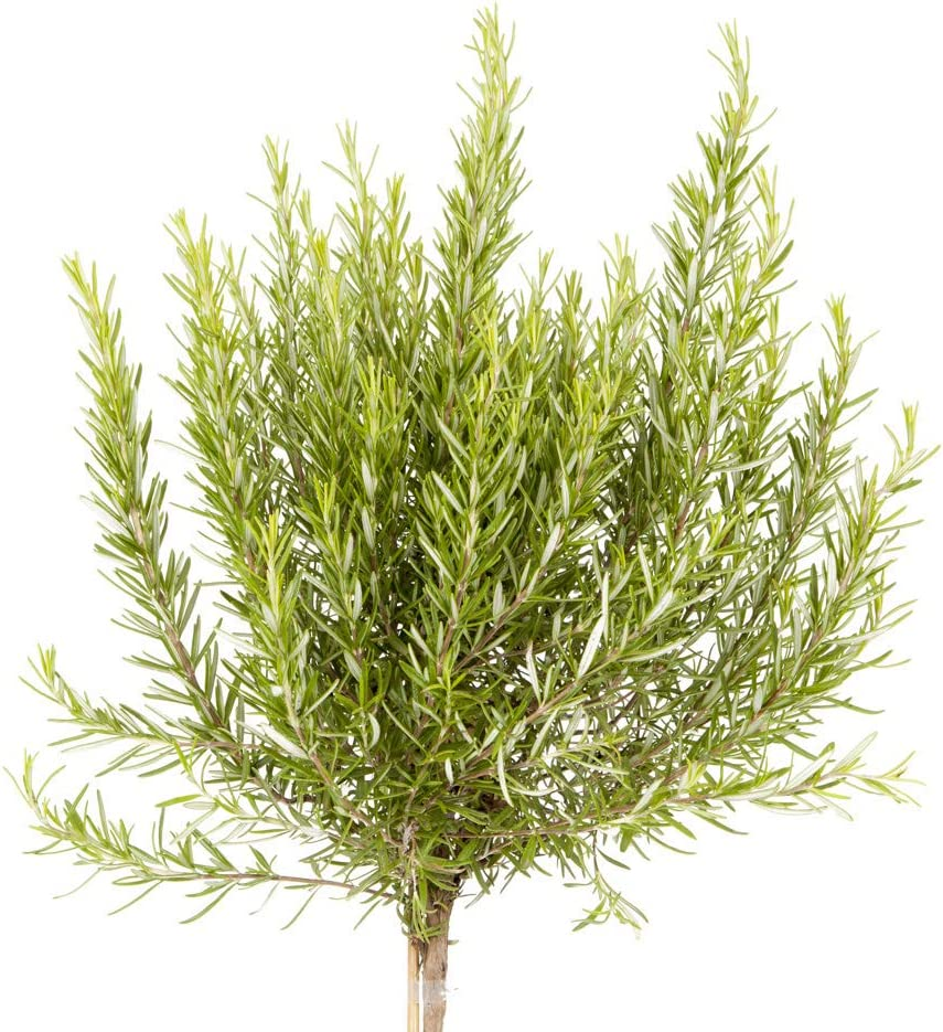 YouGarden Rosemary Herb Standard Form Bush