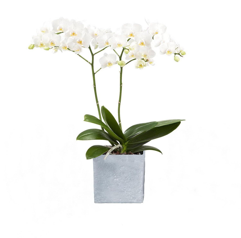 Amazon.de Pflanzenservice Zimmerpflanzen Orchidee, Phalaenopsis, weiß blühend, 2 triebig 1 Pflanze und 1 Scheurich Übertopf, anthrazit / stone / weiß