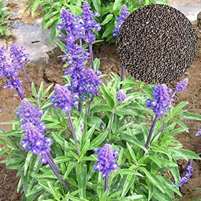 100 Russian Purple Sage Seeds Hardy Heat Loving Perennial : Garden & Outdoor