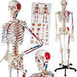 TecTake Human skeleton anatomical model life size - different models - (Human skeleton with muscles painting + bone numbering | No. 400963)