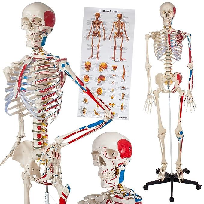 Tectake Human Skeleton Anatomical Model Life Size Different Models