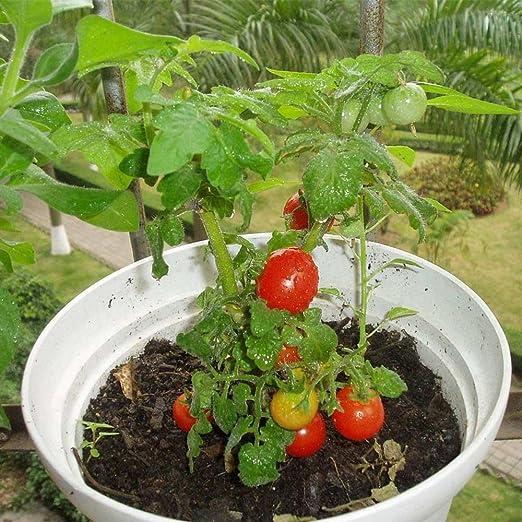 KAYI Semillas de Tomates para Plantar Semillas de hortalizas de ...