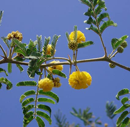 Amazon.com: Acacia FARNESIANA, vachellia Rare Mimosa Tree ...