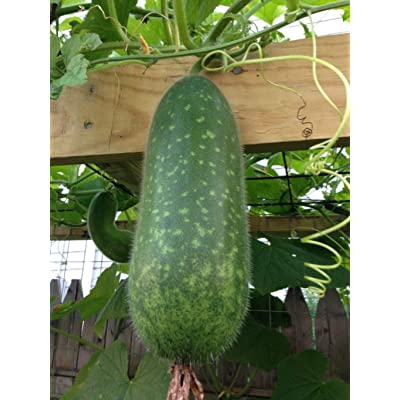 20+ Seeds Asian Hairy Gourd Wax Gourd Bi Dao Mokwa Long Fuzzy Gourd Seeds Vegetable Seeds for Planting TK7-RR : Garden & Outdoor